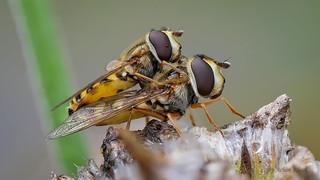 Große Schwebfliege oder Gemeine Garten-Schwebfliege (Syrphus ribesii) bei der Paarung
