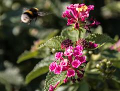 der Weg ist das Ziel / the way is the aim (konstantin oxy) Tags: hummel blume pflanzen unschrfe blten blossims blossoms plants flower bumblebee