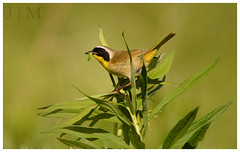 Common Yellowthroat - Martin's Creek Environmental Lands (PA) (BROAD-WINGED BIRDING) Tags: male pennsylvania july martinscreek 2016 commonyellowthroat geothlypistrichas woodwarbler northamptoncounty