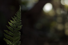 the nature of things (16) (birdcloud1) Tags: plant fern nature forest growth thesecretlifeofplants plantlife fernleaf undergrowth canon50mm18 50mm18lens newzealandplants canoneos80d forestunderstory amandakeogh amandakeoghphotography birdcloud1 eos80d
