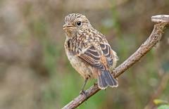 DSC3999  Stonechat.. (jefflack Wildlife&Nature) Tags: stonechat chats avian wildlife wildbirds songbirds countryside moorland heathland birds coastalbirds