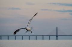 Flying (Infomastern) Tags: malm vstrahamnen bird bridge bro fgel goodnightsun gull ms resundsbron exif:model=canoneos760d geocountry exif:isospeed=1600 camera:make=canon geocity camera:model=canoneos760d geostate geolocation exif:lens=efs18200mmf3556is exif:aperture=56 exif:focallength=200mm exif:make=canon