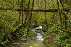 Beautiful Oregon Forest (Anna Calvert Photography) Tags: trees green nature water overgrown oregon creek river portland landscape moss scenery unitedstates hike ferns forestpark hikingtrail macleaypark