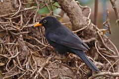 Blackbird male testing new prop Siblands 5.4.2015 (Margaret the Novice) Tags: blackbirds fantasticnature