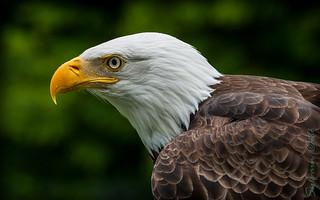 Pygargue à tête blanche / Bald Eagle [Haliaeetus leucocephalus]