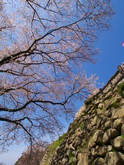Cherry Blossom on Stone Walls (somazeon) Tags: japan lumix  cherryblossom   m43 gx1