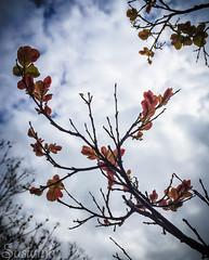 Confused weather - 105:365 (susivinh) Tags: sky tree primavera spring cielo rbol bloom sprout brote brotar florecer