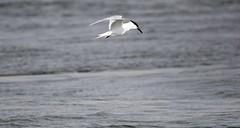 Sandwich Tern (wolfskin17) Tags: sea scotland aberdeenshire north sandwich tern newburgh estury ythan