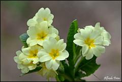 Primule (alfvet) Tags: flowers macro primavera nature nikon ngc natura npc fiori greatphotographers platinumheartaward veterinarifotografi