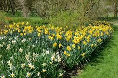 Jardins de Valloires (Somme) - Printemps - Narcisses (Morio60) Tags: jardin 80 picardie somme valloires jardinremarquable