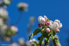 Appletree (Ebbesen Photography) Tags: lensbaby garden may 56 appletree v56 lensbabyvelvet56 velwet