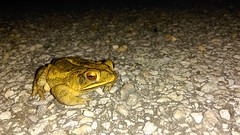 Night Guy (Aimless Aigil) Tags: macro nature amphibian toad