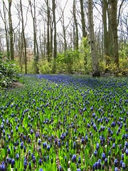 vanishing bluety (s_lverspring) Tags: park blue holland netherlands garden carpet bliss distance bluebell hyacinth keukenhof