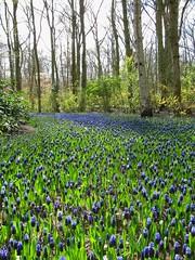 vanishing bluety (s_lverspring) Tags: park blue holland netherlands garden carpet bliss distance bluebell hyacinth keukenhof