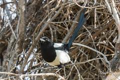 Posing Magpie