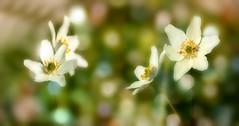 Wild flowers. (augustynbatko) Tags: flowers macro nature forest flora wildflowers