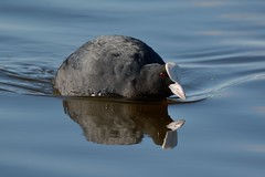 Coot. (stonefaction) Tags: nature birds scotland fife wildlife pools coot letham