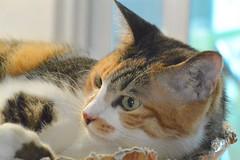 Boba (--RJ--) Tags: cats pets kitten kitties