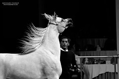 ! (Meshari Fahad) Tags: light horses white beauty sport arabian riyadh canon7d