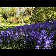 Antwerp (xplorengo) Tags: flowers blue flower bells fleurs blauw belgium belgique belgie belgi antwerp antwerpen bloemen hyacinth flanders flandres vlaanderen flandre bleubells boshyacinthen