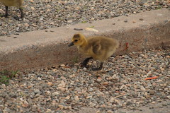 IMG_9293 (neatnessdotcom) Tags: new york baby ny canon eos rebel geese young goose ii di gosling tamron vc westchester peekskill 550d f3563 t2i pzd 18270mm