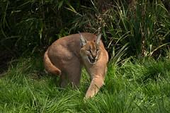 A warning hiss (Linda Court) Tags: wild cats beautiful animal fur eyes feline soft fluffy whiskers wildanimal creature powerful vicious bigcats caracal wildlifeheritagefoundation