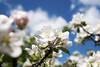 Apple Blossom, Lohja 6