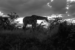 Nairobi National Park (rabbit.Hole) Tags: giraffe nairobinationalpark nairobi wildlife africa kenya sunset africasunset blackandwhite bw rabbitholephotography gsmatthews