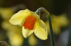 A Tribute To EgyptAir Flight MS804 (careth@2012) Tags: light nature petals spring daffodil