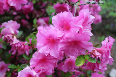 IMG_3007.JPG (robert.messinger) Tags: flowers rhodies