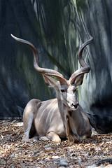 Lowry Park Zoo: Male Kudu (Jasmine'sCamera) Tags: park animal animals tampa zoo lowry lowryparkzoo