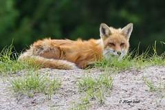 IMG_4056 red fox (starc283) Tags: canon outdoors outdoor wildlife fox predator redfox starc283