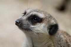 Opel Zoo 21.5.2016-350 (flummylein85) Tags: opelzoo erdmnnchen