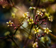 Smoke Tree Flowers (Don White (Burnaby) Thanks for the Three Million V) Tags: macro bokeh smoketree extensiontube flowersplants 10mm sigma30mmf28