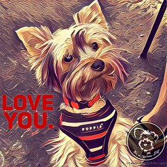 That about sums it up. (itsayorkielife) Tags: instagram itsayorkielife yorkie yorkshireterrier