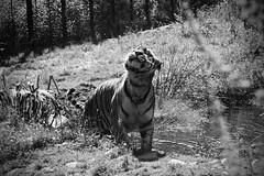 Amur Tiger, Highland Wildlife Park (calumccampbell) Tags: scotland highlands black isle blackisle photography trip holiday lochs mountains hills scottish amur tiger amurtiger highland wildlife park rzss