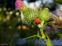 No te pinches,. (loriagaon) Tags: flowers espaa plants naturaleza flores macro nature animals plantas galicia animales pontevedra chinche gorgojo loria loriagaon rx10lll sonyrx10lll sonydscrx10iii
