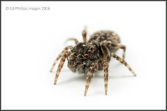 Jumping Spider (Ed Phillips 01) Tags: macro spider jumping arachnid staffordshire invertebrate mpe explored