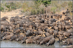 Buffalo Herd (Petri_) Tags: african buffalo herd drinking water waterhole africa nikond300 nikkor70300mm