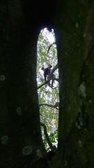 Fagus sylvatica window (arborist.ch) Tags: arborist treecare arboriculture tree treeclimbing baumpflege baum baumklettern buche fagus sylvatica