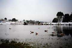 Ducks On The Lake, Waratah (paulledger81) Tags: ducks lake water waratah tasmania australia winter overcast fullframe nikond3x manualfocus bridge snow tarkine miningtown