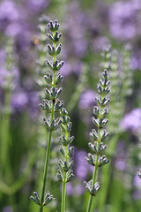 Two Kinds Of Lavender (gripspix (OFF)) Tags: 20160712 nature natur plant pflanze flower blume lavendel lavender lavendulasp