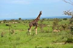 The old giraffe (supersky77) Tags: giraffa giraffe savana africa uganda murchisonfalls murchisonfallsnationalpark giraffacamelopardalis