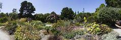 DC3308  DSC1211a6000a  Mendocino Coast Botanical Gardens © 2016 Paul Light (Paul Light) Tags: california fortbragg mendocinocoastbotanicalgardens reallyrightstuffpanokit cactus flowers garden panorama