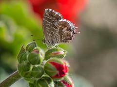 Geranium Bronze - Cacyreus marshalli - France (ArtFrames) Tags: aude france papeur butterfly geranium bronze cacyreus marshalli olympus digital camera em5mk2 40150 languedocroussilin