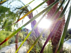 blinds (Lovely Pom) Tags: tree palm plant sunlight blinds rays