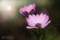 sunday walk 11.09.2016 -p4d- 055 (photos4dreams) Tags: sundaywalk11092016p4d sonntagsspaziergang spaziergang photos4dreams p4d photos4dreamz pflanzen blumen plants flowers