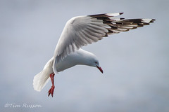 IMG_6993 (timrusson) Tags: silvergull