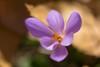 crocus (hilarioperez) Tags: hilarioperez florsilvestre crocus outono lugo serradocourel macro softfocus ocourel ocaurel otoño