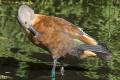 South African Shelduck - Tadorna cana (stuboy72) Tags: south african shelduck tadorna cana